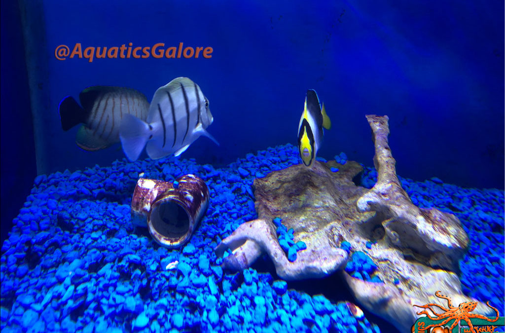 Convict Tang & Singapore Angel